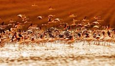 African flamingos on sunset, beautiful big birds flying, wildlife safari Stock Photo