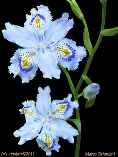 Dwarf crested iris (Iris cristata), native to the US, by Marco Ottaviani