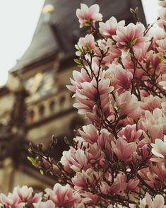 Magnolia blossoms in front of the cathedral of Aachen, Germany. Visit me on Instagram for more photos: beeskowphotography