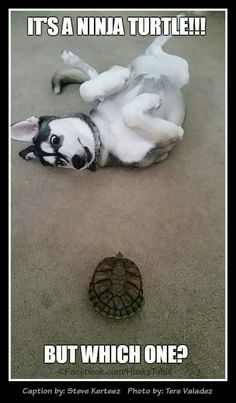 Husky with turtle