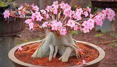 rosa-do-deserto (Adenium obesum)