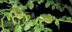 Double act: A pair of Glass Frogs shelter in foliage at Manu National Park, Peru