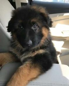 The Courageous German Shepherd Puppy Temperament German Shepherd Pictures, Cute German Shepherd Puppies, German Shepherds, Best Dog Breeds, Best Dogs, Gsd Puppies, Schaefer, Dog Teeth, Cute Creatures