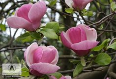 Magnolia x soulangeana 'Lennei' 3