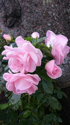 Otroligt vacker ros, Astrid Lindgren.