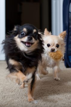 Penny and Susie (chihuahuas playing)
