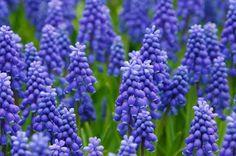 Algunas flores azules para el jardín