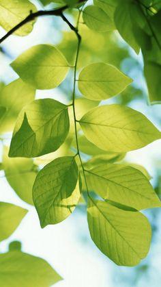 Spring Green Leaf Branch iPhone 6 Wallpaper