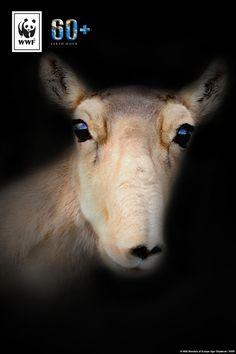 Der Klimawandel bedroht das Überleben der Saiga-Antilope. Schon jetzt ist eine von sechs Tierarten durch den Klimawandel vom Aussterben bedroht. Macht mit bei der #EarthHour und setzt ein Zeichen für mehr Klimaschutz.