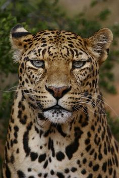 Leopards have the coolest eye color...a light green, unlike panthers and jaguar.