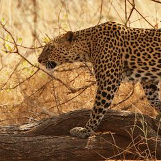 Animal welfare groups push US to classify all leopards as endangered