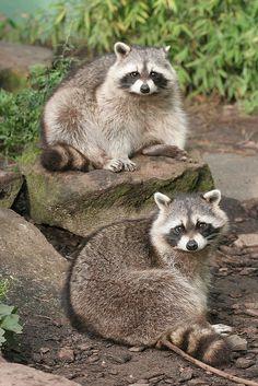 Raccoons by A.J. Haverkamp, via Flickr