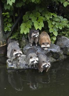 Racoons testing the water