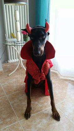 Halloween Doberman