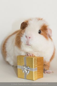 My guinea pig GINA - by Marie-Sophie Germain www.mariesophiegermain.com...is this for me?