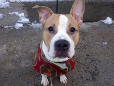 TO BE DESTROYED 2/12/14  Manhattan Center -P   My name is LUCKY. My Animal ID # is A0990816.  I am a male white and tan pit bull mix. The shelter thinks I am about 1 YEAR    I came in the shelter as a OWNER SUR on 02/01/2014