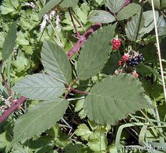 Rubus Fruticosus - Blackberry Bramble - Edible Weeds and Bush Tucker Plant Foods