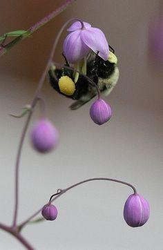 Bumblebee foraging.