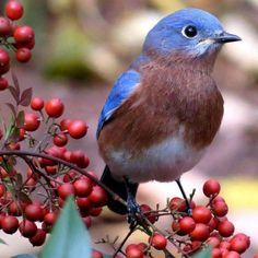 Western Meadowlark - state bird | I love Oregon ...