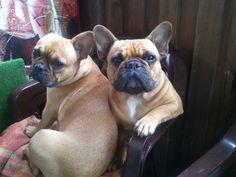 Barunka and Kylie, French Bulldogs