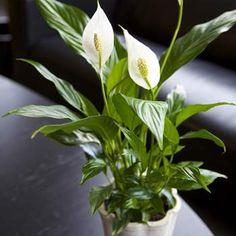 Spathiphyllum Wallisii - Fredskalla   Trivs både i skugga, halvskugga och ljust men EJ soligt. Gillar INTE kyla, drag eller kallt vatten!