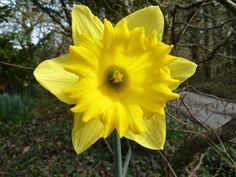Daffodils are everywhere on the farm in February and March