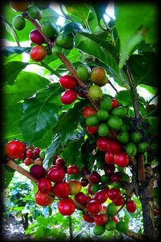 Coffee Beans | New USAID Starbucks PPP Supports Colombian Coffee Farmers…
