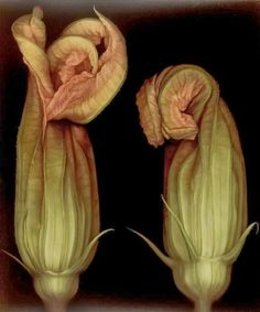 Squash Blossoms II by Larissa Morais Billy Kidd, Floral Illustration, Veggie Art, Fotografia Macro, Still Life Photos, Squash Blossom, In The Tree, Animal Tattoos, Still Life Photography