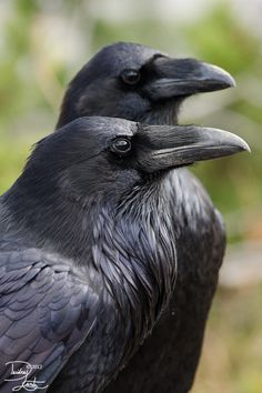 iheartcrows:  Raven duo by ~DeeOtter