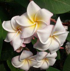 Sacred Garden Frangipanis - Australia