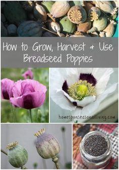 Breadseed Poppies: Save Yourself a Fortune, Make Poppy Seed Cake | 10 Easy Garden Crops You've Never Heard Of