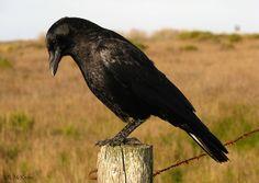 American Crow - Corvus brachyrhynchos photo by Joe McKenna / California 2009