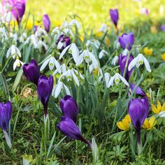 Plants to pair with Fall Sale Plant of the Week #3, Annick's Pick: Spring Blooming Bulbs: Smaller spring-blooming bulbs can be planted in the fall to offer cheerful color under and around Hydrangea. Try Galanthus (snowdrop), Anemone blanda, and Crocus.
