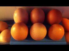 DOMACE ZIVOTINJE - UZGOJ: fantasticna domaca  jaja i sto radimo s njima?