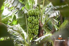 Finca Punta El Lomo, Platanera San Miguel, Tenerife, Islas Canarias // Banana plantations, Tenerife, Canary Islands // Bananenplantage, Teneriffa, Kanarische Inseln