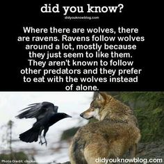 Write a story of a wolf that can speak Raven. No other wolf can speak Raven, and no other raven can speak Wolf. Animals And Pets, Funny Animals, Cute Animals, Smart Animals, Kids Animals, Beautiful Creatures, Animals Beautiful, Wolf Quotes, Quotes Quotes