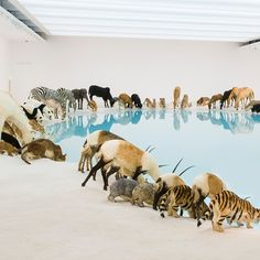 As part of a new exhibition at QAGOMA artist Cai Guo-Giang created 99 lifelike animal replicas and positioned them around a serene pool.