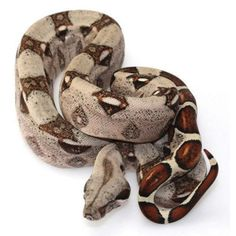 Red Tail Boa! Use to have one! Miss him!