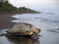 Tortuguero National Park . A turtle lovers paradise ! One of my best travel experiences !