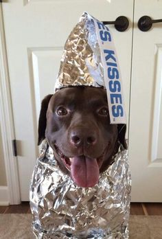 Hersey kiss - best chocolate lab costume of all