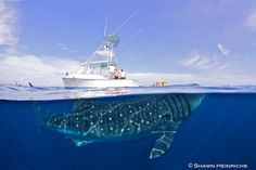 Amazing Photo, Going Whale Watching is on my To Do List! - Photographer explains stunning and unique whale shark image