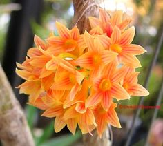 dendrobium goldschmidtianum   The post Natural Hybrid Dendrobium × usitae appeared first on Orchids ...