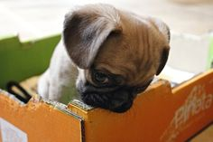 Baby pug says: dis what I think of da timeout box