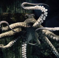 flag of Ocean Simply breathtaking - sea life Underwater Creatures, Underwater Life, Ocean Creatures, Beautiful Sea Creatures, Animals Beautiful, Cute Animals, Octopus Tattoos, Octopus Art, Octopus Photography