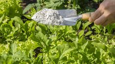 Garden Bugs, Garden Pests, Horticulture, Getting Rid Of Earwigs, Tomato Companion Plants, Tomato Plants, Pill Bug, Cucumber Beetles, Plant Tissue