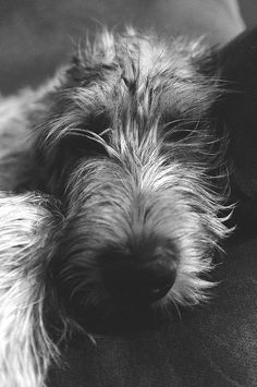 We Love Irish Wolfhounds: Photo