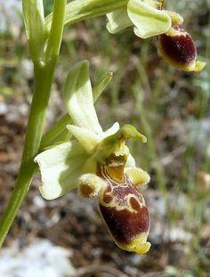 Ophrys bremifera (rarissima vive solo nel Gargano)