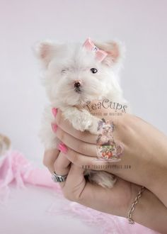 Beautiful Teacup Maltese puppy for sale at TeaCups, Puppies & Boutique!  www.TeaCupsPuppies.com