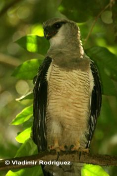 The Crested Eagle is found at the Rio Bravo Conservation and Management Area (RBCMA), a private conservation area owned and held in trust for the people of Belize by Programme for Belize (PfB).