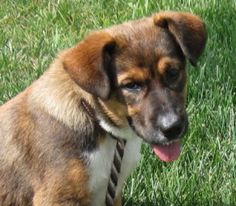 Nic Nac is an adoptable Saint Bernard St. Bernard Dog in Amherst, VA. Nic Nac is a feisty little guy, approx. 4 months old and cute as they come. He very much wants toplay with friends in the kennel n...